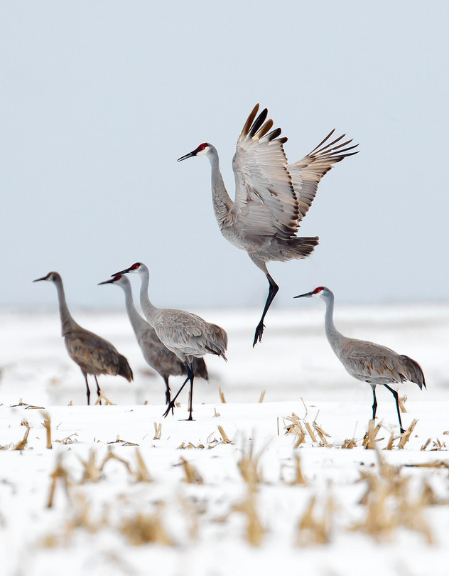 A sandhill crane busts a move in a mating dance. Photo: Rick Rasmussen [WSJ 031315]