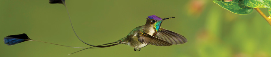 Marvelous-Spatuletail_Glenn-Bartley