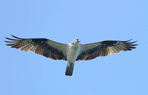 An osprey soars over the Detroit River Hawk Watch at Lake Erie Metro Park. [Source: Andrew Sturgess | DRHW Facebook Group]